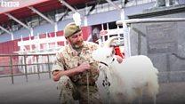Got your goat? Shenkin explores Cardiff