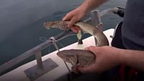 Shark tagging project for NI coast