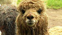 Alpacas need 'same protection as sheep'