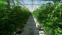 Inside the world's largest cannabis farm