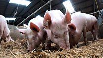 The gene-edited pigs immune to lung disease