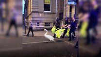 Swan leads police on low-speed pursuit