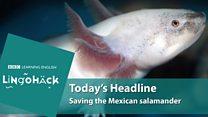 O esforço de cientistas para salvar salamandra ameaçada de extinção