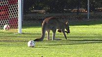 Kangaroo halts Australia football game