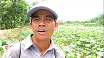 Quảng Nam bỏ lúa trồng sen