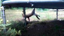 Fox found stuck in trampoline