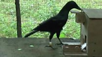 How crows can use a vending machine