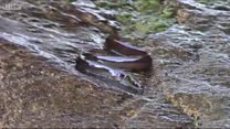 Eels wriggle up waterfall after 5,000-mile trip