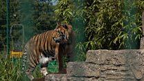 5 цирковых тигров нашли новый дом