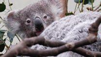 Koala chlamydia vaccine possible