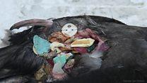 Os filhotes de pássaros que estão morrendo de fome com estômagos cheios de plástico