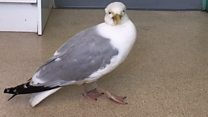 Drunk gulls found 'stinking of alcohol'