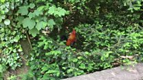 'Dumped' chickens go feral in Jersey