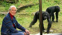 شاهد عینی (١٠٦): سفر به آفریقا برای زندگی با شامپانزههای وحشی