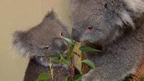 Longleat prepares for Koala arrival