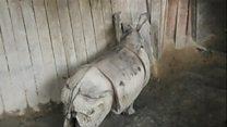 尼泊尔向中国捐赠犀牛