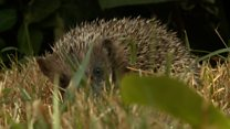 The hedgehog rescue run from a house
