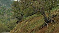 هشدار فعالان محیط زیست ایران نسبت به تخریب جنگلهای ارغوانی ایلام