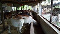 गौमुत्र संकलनका लागि छाडा गाईको उद्धार