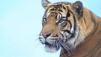 Rare tiger joins breeding programme