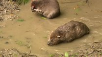 Beavers return after 400 year absence