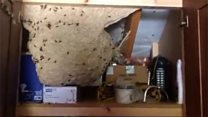 'Humongous' wasps' nest found in cupboard