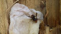 Beekeeper 'hunts' Asian hornets by sight