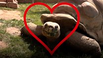 Giant male tortoise looking for love