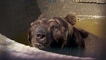 سفرچهار خرس قهوه ای ژاپنی به بریتانیا