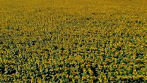 Heatwave boosts bumper sunflower crop