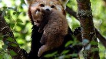 Meet Scotland's new wee red pandas