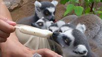 અહીં ઝૂમાં પ્રાણીઓને આઇસક્રીમ ખવડાવાય છે