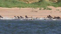 Hundreds of seals flee from dog walkers