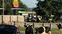 Escaped Cows moove in for a McDonald's