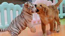 ICYMI: Tigers' dog 'mum' and dance diplomacy