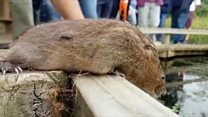 Release marks new hope for water voles