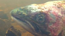 Footage shows 'lice-infected wild salmon'
