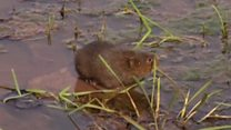 Endangered voles return to river after 30 years
