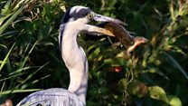 Heron takes pike off his perch