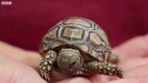 World's fastest tortoise starts family