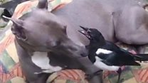 Best friends forever - Magpie and whippet form unlikely friendship