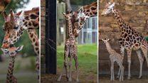 'Rare' giraffe calf takes first steps
