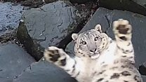 Snow leopard's surprise at new camera