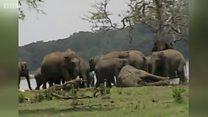 鼻でなでる姿も、仲間の死を悼む野生のゾウ スリランカ