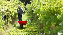 Hot summer produces bumper crop for English wine