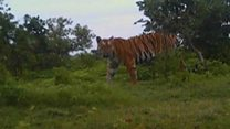 ตามล่าแม่เสือที่ทำคนตาย 13 คนในอินเดีย