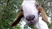 Urbane koze