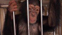 BBC help bust Nepal chimp smuggling
