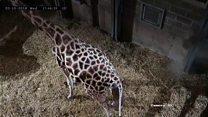 Baby giraffe takes first steps