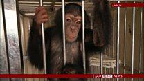 باند تجارت بچه شامپانزهها در نپال منهدم شد